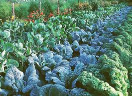 Jardin...CHOUX ? dans Vegetal